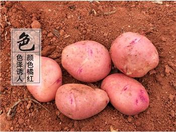 云南新鲜土豆小洋芋黄心小土豆新鲜马铃薯2.5kg生鲜蔬菜批发